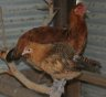 Keeping Chickens, how they are good for you and the garden